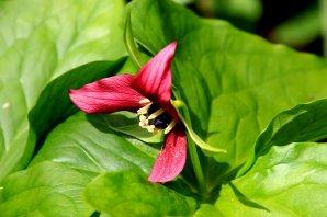 Red Wake robin trillium (Trillium erectum)