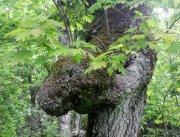 Burly tree