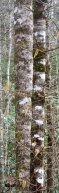 Decorative lichens