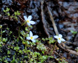 The first Bluets (Houstonia)