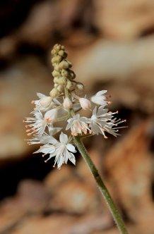 IFoam flower (Tiarella cordifolia)