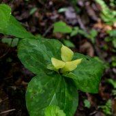 Pale Yellow Trilium (Trillium discolor)