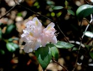 A Small Leaf Rhododendron (Rhododendron minus)