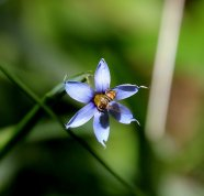 a Blue-eyed grass (Sisyrinchium sp.)
