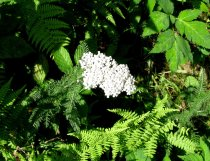 Possibly Yarrow (Achillea millefolium)