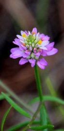 Curtiss' milkwort (Polygala curtissii)