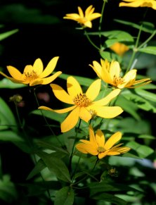 Probably Greater Tickseed (Coreopsis major)