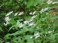 Maybe White Wood Aster (Eurybia divaricata)