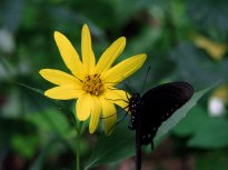 Eastern Tiger Swallowtail and sunflower