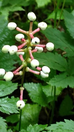 Doll's Eye (Actaea pachypoda)