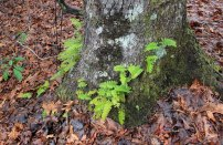 Possibly a Rock Cap Fern (Polypodium virginianum)