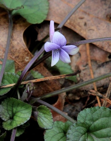 A Very Early Violet