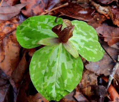 Sweet Betsy Trillium (Trillium cuneatum)