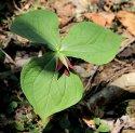 Maroon Wake Robin Trillium (Trillium erectum)