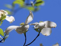 White Flowering Dogwood (Cornus florida)