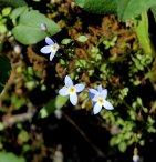 Bluets (Houstonia sp.)