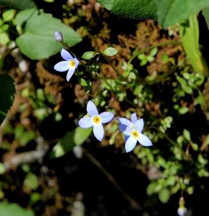 Bluets (Houstonia sp.)